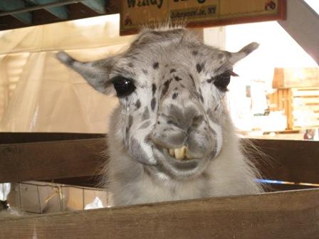 llama-smile.jpg